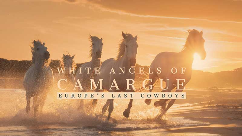 White Angels of Camargue