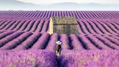 Lavender Fields of the Provence